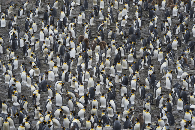 King penguin (Aptenodytes patagonicus) colony. Salisbury Plain, South Georgia. January
