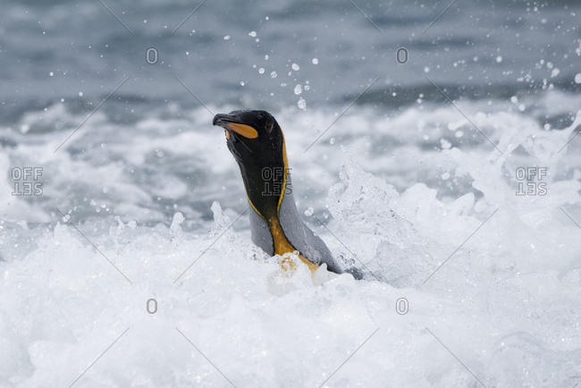 King penguin (Aptenodytes patagonicus) in surf. Salisbury Plain, South Georgia. January