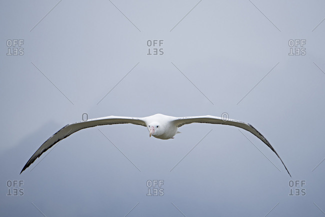 Wandering albatross (Diomedea exulans) in flight. Albatross Island, South Georgia. January