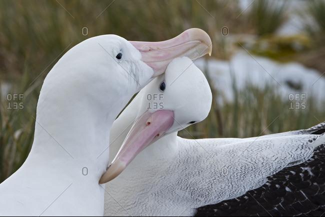 Wandering albatross (Diomedea exulans) pair preening. Albatross Island, South Georgia. January