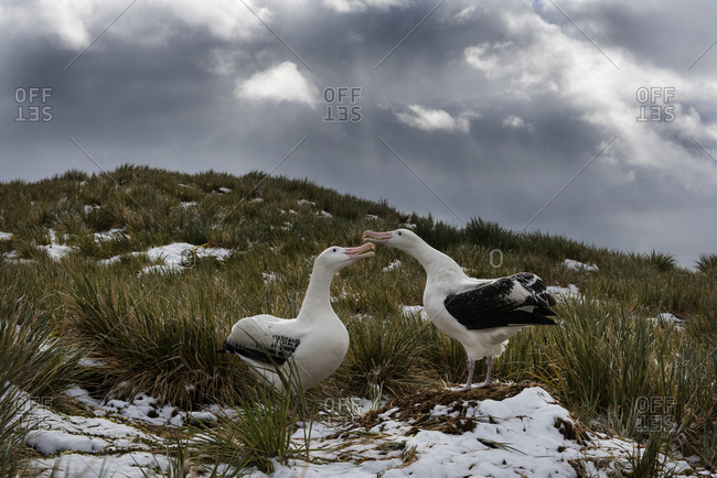Wandering albatross (Diomedea exulans) pair n courtship display. Albatross Island in Bay of Isles, South Georgia. January
