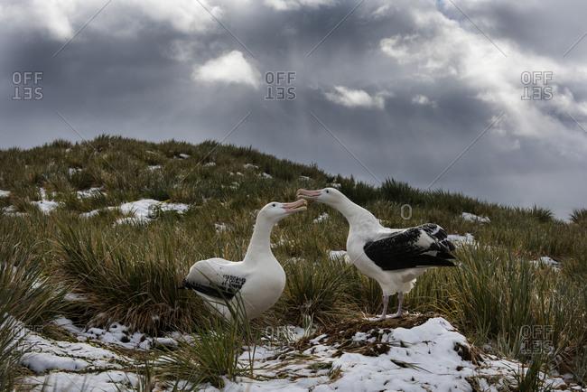Wandering albatross (Diomedea exulans) pair n courtship display. Albatross Island in Bay of Isles, South Georgia. January