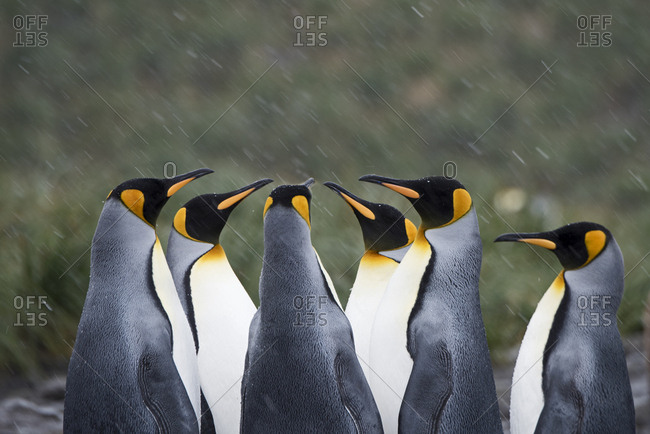 King penguins (Aptenodytes patagonicus) in group. Holmestrand, South Georgia. January