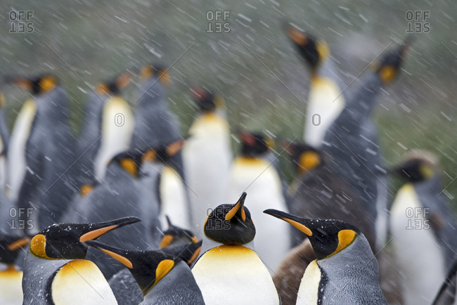 King penguins (Aptenodytes patagonicus) in blizzard. Holmestrand, South Georgia. January