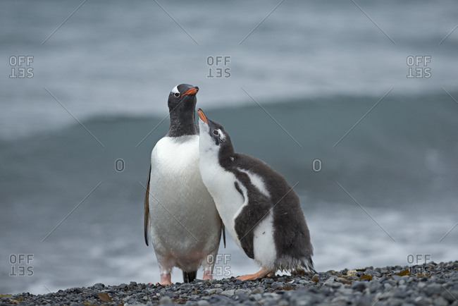 Gentoo penguin (Pygoscelis papua) adult with begging chick, Holmestrand, South Georgia, January