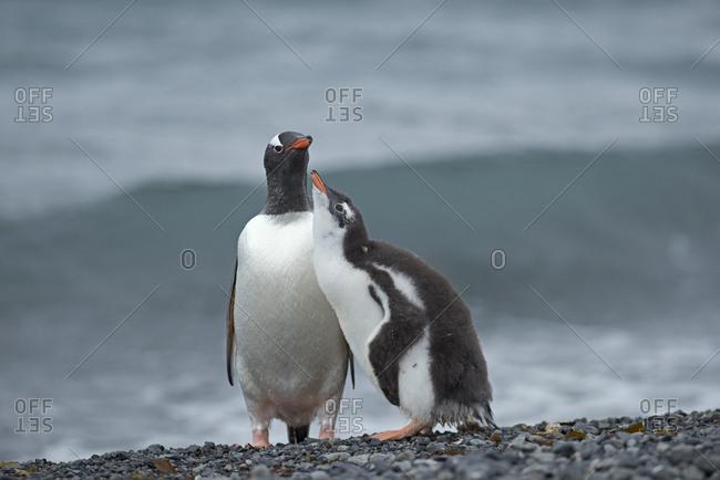 Gentoo penguin (Pygoscelis papua) adult with begging chick, Holmestrand, South Georgia, January