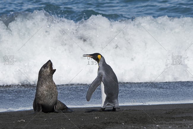 King penguins (Aptenodytes patagonicus) and aggressive Antarctic fur seal pup (Arctocephalus gazella). St Andrews Bay, South Georgia. January