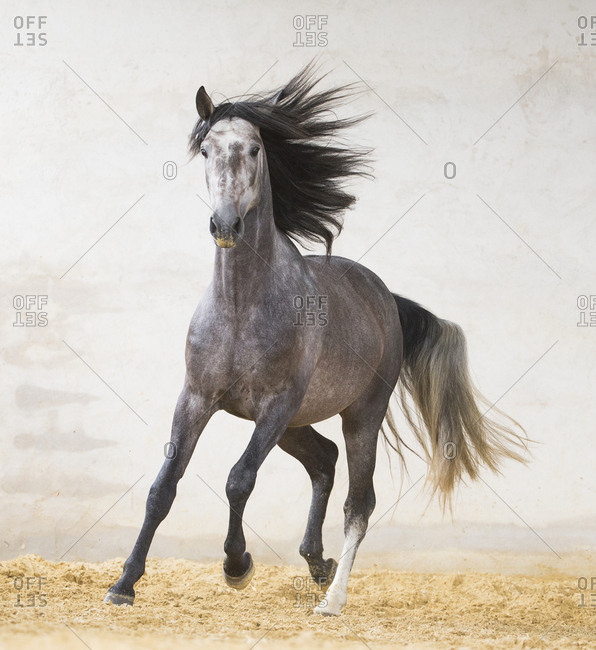 Dapple grey Andalusian stallion running in arena, Northern France, Europe. March
