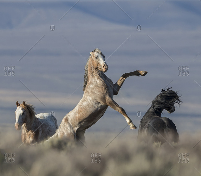 Wild pinto Mustang stallion rearing, White Mountain, Wyoming, USA. August 2014