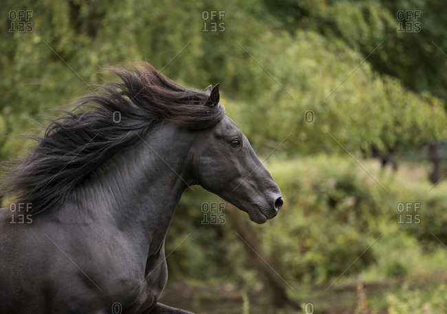 Head portrait of black Merens stallion running in  pasture, Northern France, Europe. February