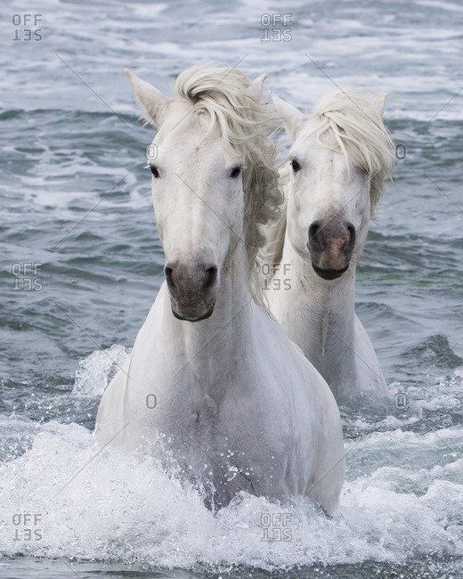 Two Camargue horses coming in from the sea, Camargue, France, Europe. May