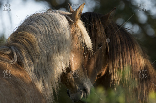 Two wild Mustang stallions meeting in trees, Carrott Island, South Carolina, USA