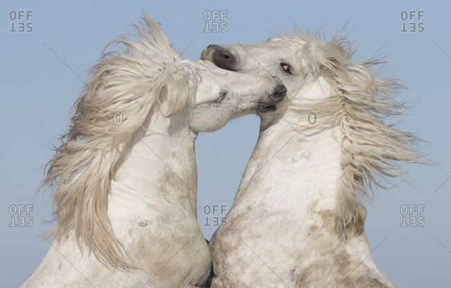Two white Camargue stallions rearing in play, Camargue, France, Europe
