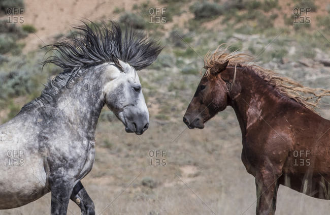 Two wild Mustang stallions face each other, one grey one sorral in McCullough Peaks Herd Area, Wyoming, USA. June