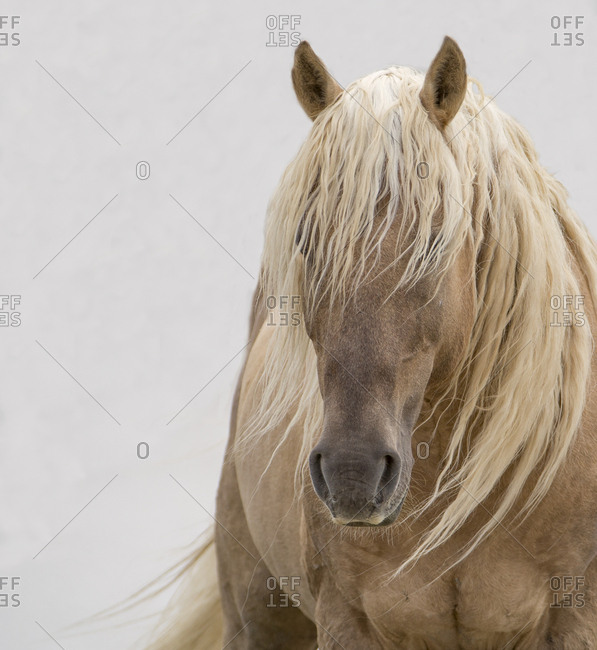 Head portrait of wild dunalino Mustang stallion with long mane, Sand Wash Basin Herd Management Area, Colorado, USA. June
