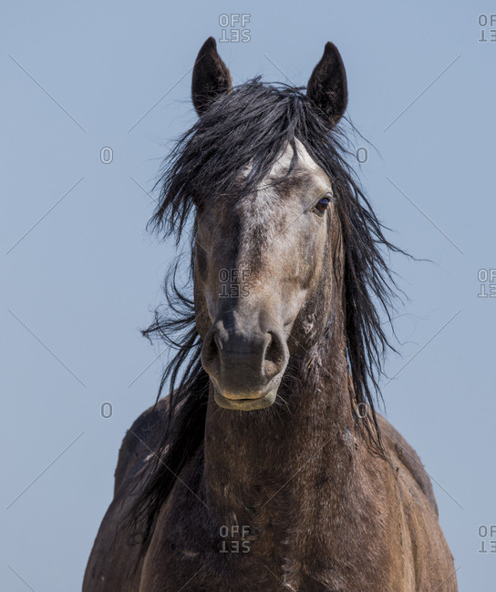 Head portrait of young wild grey Mustang stallion in Adobe Town, Wyoming, USA