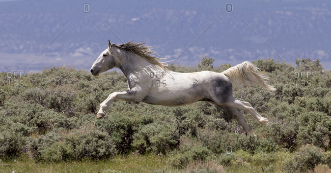 Wild faded pinto Mustang stallion leaping through air in pursuit of another stallion, Sand Wash Basin, Colorado, USA. June