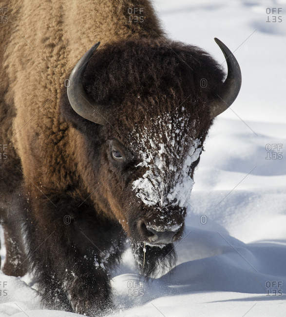 Close up of Bison (Bison bison) walking in winter snow, Yellowstone, USA. January