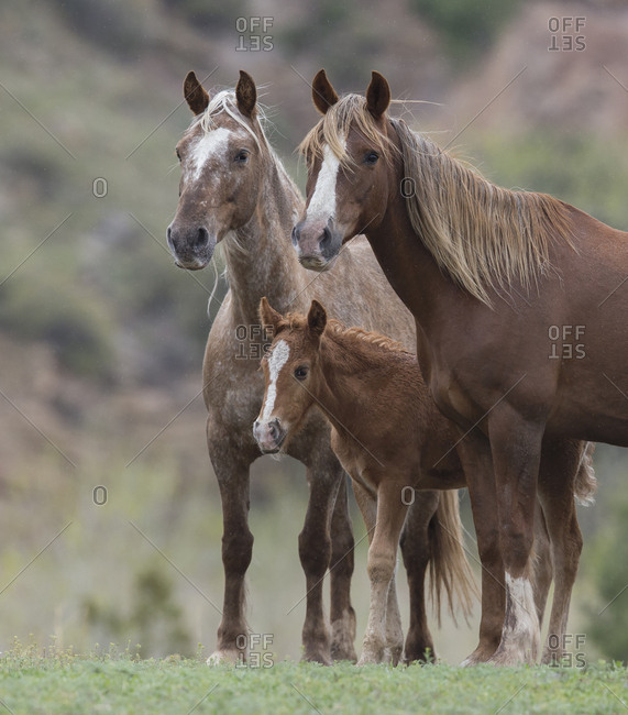 Wild Mustang mare with sister and foal at Black Hills Wild Horse Sanctuary, South Dakota, USA. May