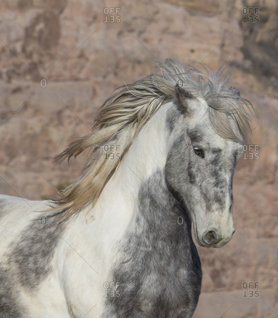 Head portrait of wild Mustang stallion tossing his mane while running, Black Hills Wild Horse Sanctuary, South Dakota, USA. February