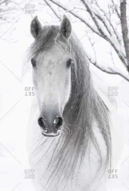Head portrait of grey Andalusian mare with long mane in snow, Berthoud, Colorado, USA. January