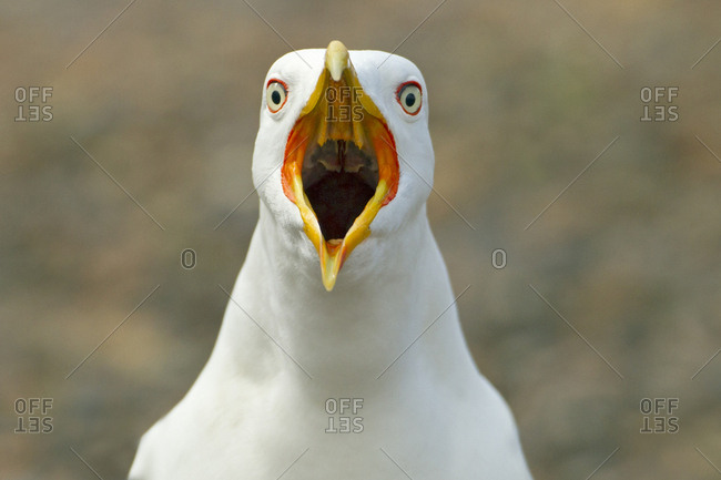 Lesser black-backed gull (Larus fuscus) beak open, calling from shoreline, England, UK, May