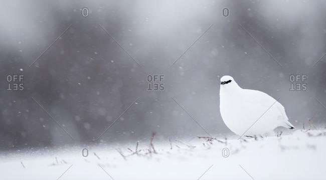 Ptarmigan (Lagopus muta) in winter. Finland. February