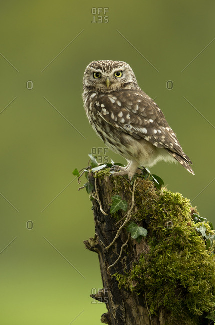 Little Owl (Athene noctua) perched on tree stump covered in moss. Worcestershire, England, UK. May 2013