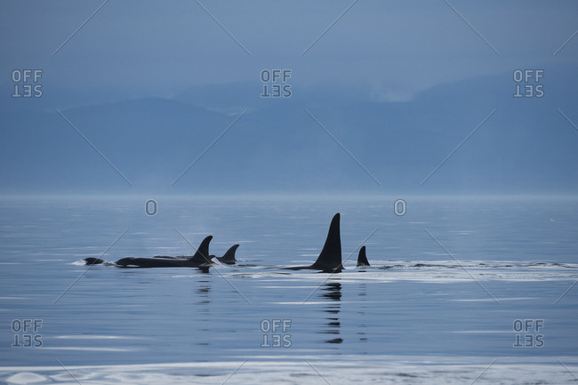 Killer whales / orca (Orcinus orca) southern resident family pod surfacing in evening. Southern Vancouver Island, British Columbia, Strait of Juan de Fuca, Canada. September