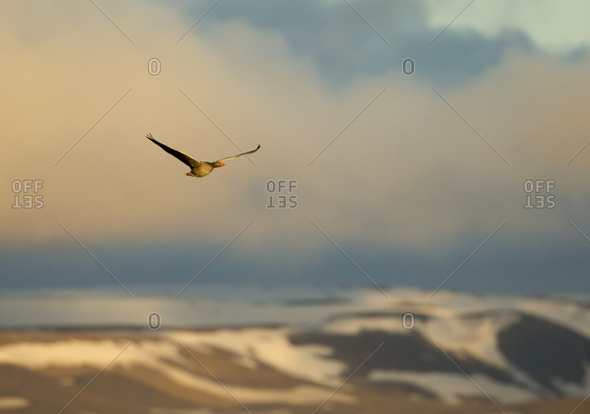 Greylag goose (Anser anser) in flight. Iceland. June