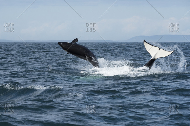 Killer whale / orca (Orcinus orca) southern resident juvenile breaches whilst adult tail slaps surface. Southern Vancouver Island, Strait of Juan de Fuca, British Columbia, Canada, September