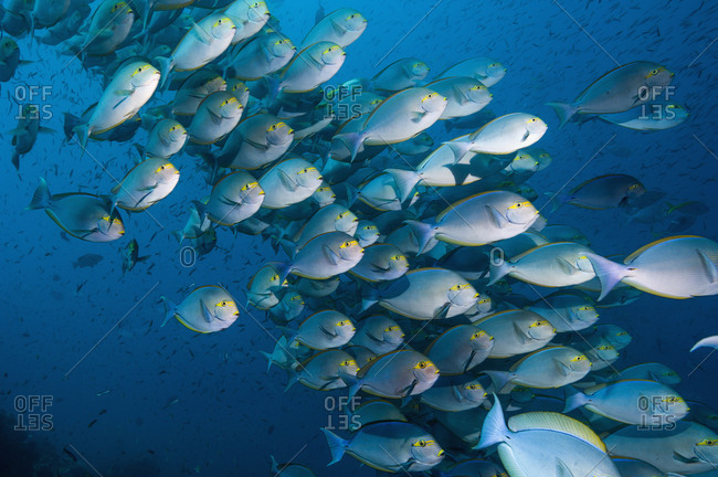 Elongate surgeonfish (Acanthurus mata) school.  Indonesia