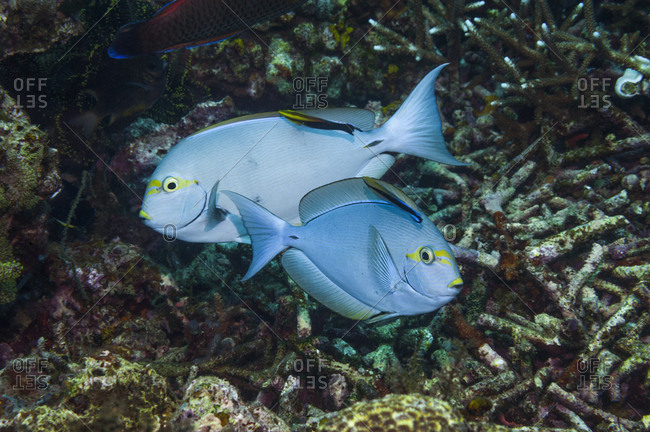 Elongate surgeonfish (Acanthurus mata) being cleaned by Black spot cleaner wrasse (Labroides pectoralis) and  Bluestreak cleaner wrasse (Labroides dimidiatus).  Indonesia