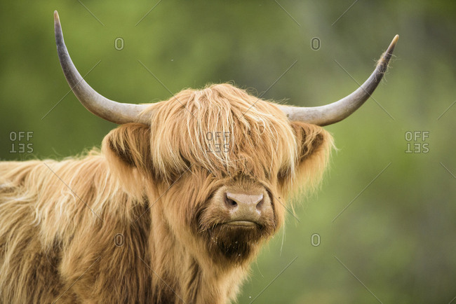 Highland cow, Mull, Scotland