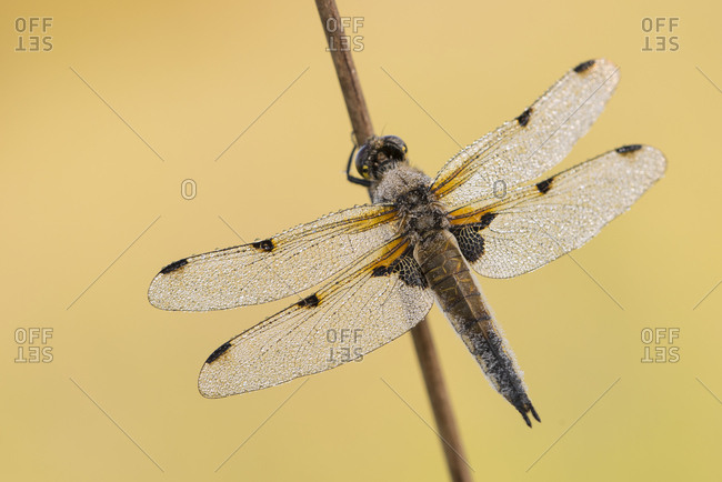 Four-spotted chaser dragonfly (Libellula quadrimaculata) resting on reed stem, early morning light, Devon, UK. May