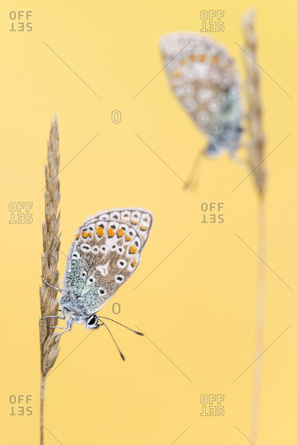Common blue butterflies (Polyommatus icarus) resting on grass. Vealand Farm, Devon, UK. September