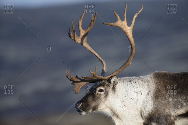 Wild reindeer (Rangifer tarandus) male in autumn. Forollhogna National Park. Norway