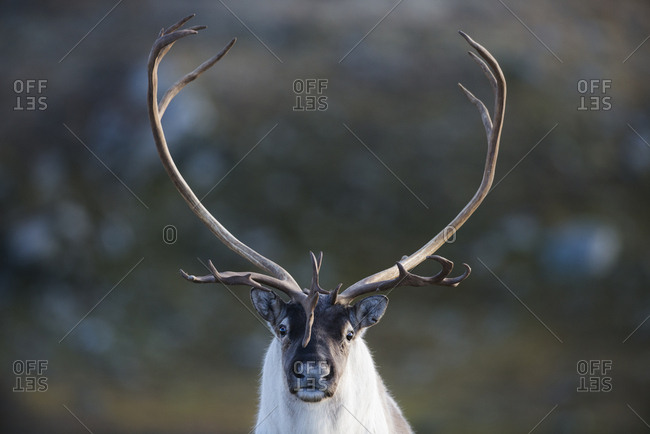 Wild reindeer (Rangifer tarandus) male with large antlers,  autumn, Forollhogna National Park. Norway