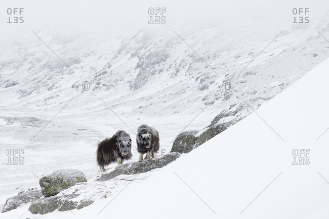 Muskoxen (Ovibos moschatus) in Dovrefjell-Sunndalsfjella National Park. Sor-Trondelag, Norway