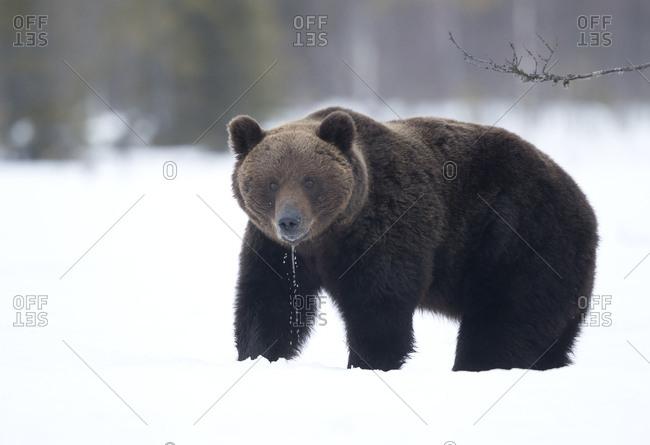 Brown Bear (Ursus arctos) in the snow, Finland. April