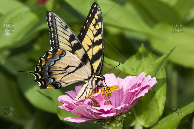 Eastern tiger swallowtail butterfly (Papilio glaucus) nectaring on Zinnia in farm garden, wild and free. Essex, Connecticut, USA