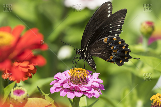 Spicebush swallowtail butterfly (Papilio troilus) nectaring on Zinnia in farm garden, wild and free. Madison, Connecticut, USA