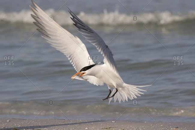Royal tern (Thalasseus maximus) with fish, landing on beach. Mullet Key, St Petersburg. Florida, USA