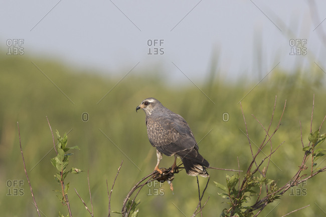Snail kite (Rostrhammus sociabilus) clutching an Apple Snail, found in US only in southern Florida where it lives almost exclusively on a diet of Apple Snails. Shore of Lake Kissimmee, Florida, USA