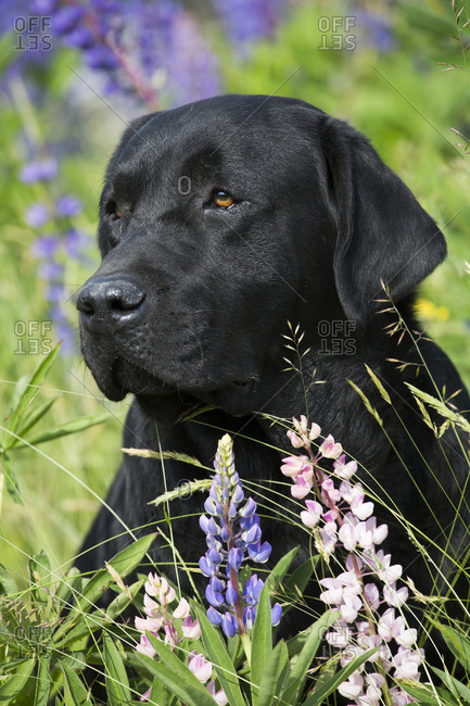 Black Labrador retriever and Lupin flowers. Round Pond, Maine, USA