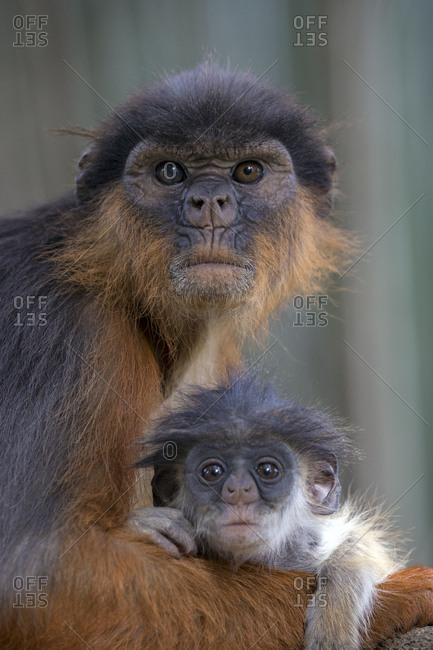 Western red colobus (Procolobus badius) female with small youngster. Gambia, Africa. May 2016