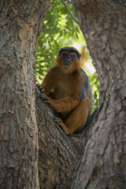 Western red colobus (Procolobus badius) in a tree. Gambia, Africa. May 2016