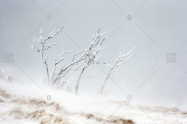 Branches of shrub covered in ice and frost during snowfall with heavy wind. Hohneck mountain, Vosges, France. January