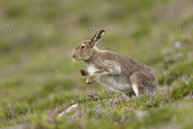 Mountain Hare (Lepus timidus) shaking after grooming, summer pelage. Scotland, UK