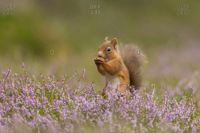 Red Squirrel (Sciurus vulgaris) in summer coat amongst heather, Cairngorms National Park, Scotland